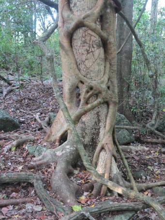 Strangler vine taking a death grip